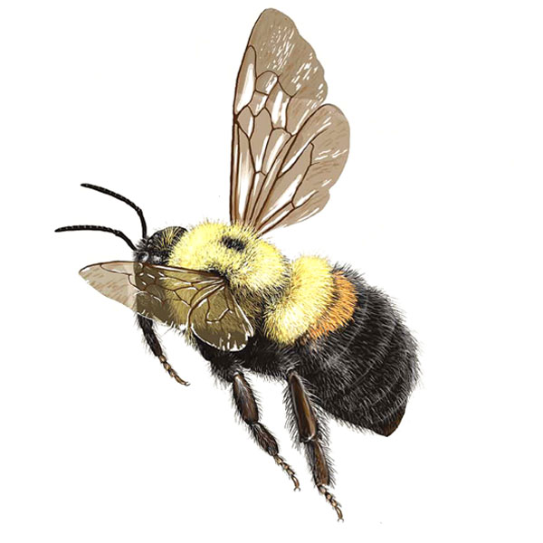 honey bees drones with Brown Belted Bumble Bee on Honey Bee Anatomy furthermore Novembeard Inspiration moreover Sciencequestionsfrom5th Graders blogspot in addition Queen Cells Part 2 in addition Basic Honeybee Biology.