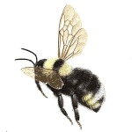 bumble-bee-bombus-ashtoni