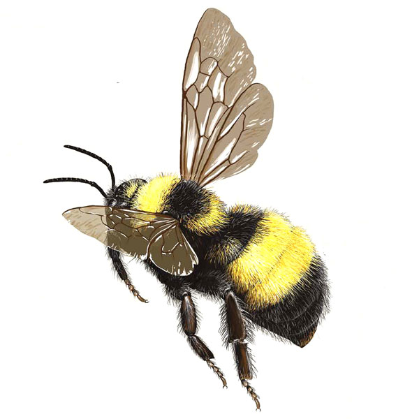 bumble bee us auri us Types Bees