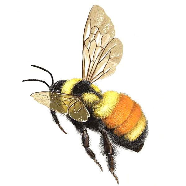 bumble-bee-bombus-ternarius