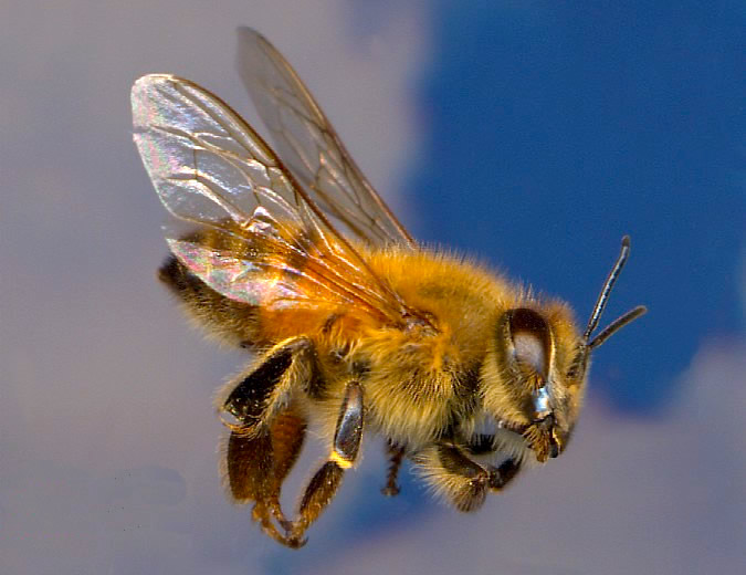 types of bees killer bees africanized honey beea