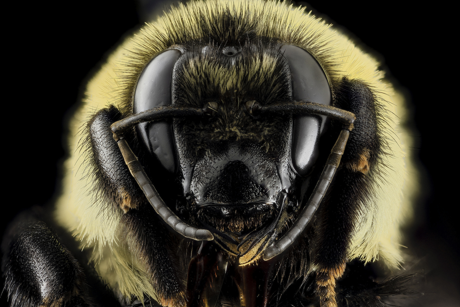 Types of Bees: Bumble Bee, Bombus griseocollis
