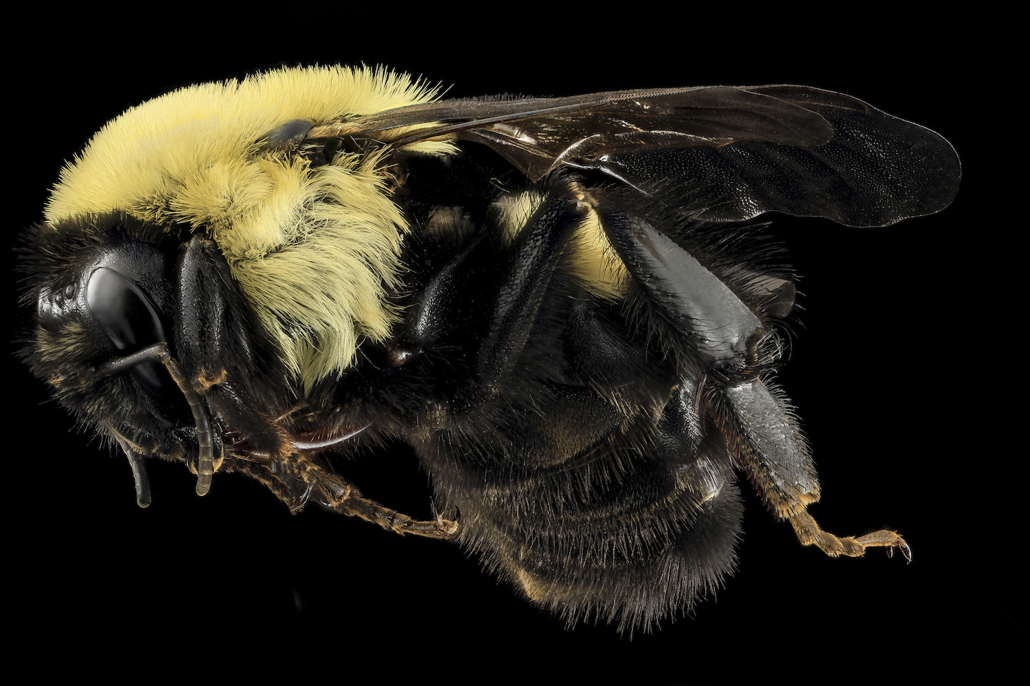 Types of Bees: Bumble Bee, Bombus griseocollis - Types Of Bees - photo#21