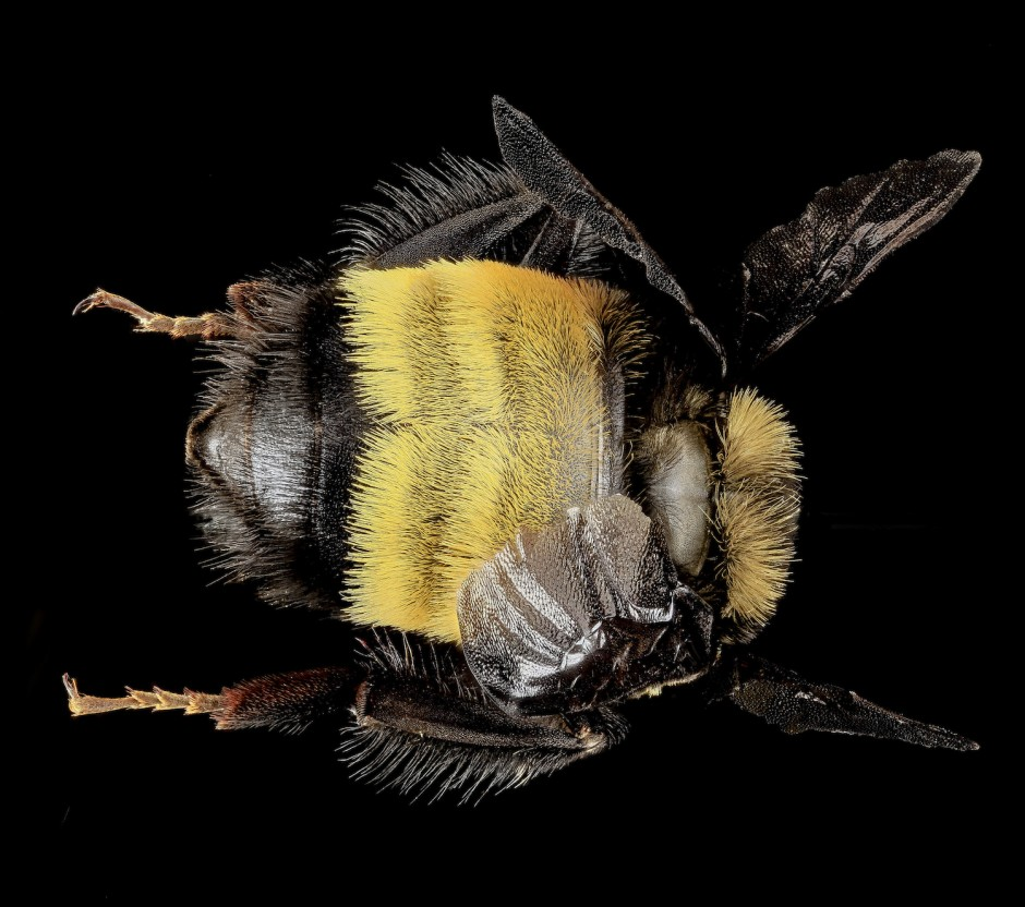 drones bee with Types Of Bees Bumble Bee9101265478 C62efaa724 K on Watch besides Hor additionally Paper Wasp moreover The First Drone as well Insects Types Of Wasps Wasp Sting Treatment.